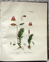 `Описание различных видов мхов, с 77 гравюрами на меди, раскрашенных в цвете (Species muscorum frondosorum descriptae et tabulis aeneis LXXVII coloratis illustratae)` Иоганн Хедвиг (Johannes Hedwig ). Лейпциг, 1801 г.
